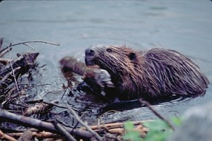 virginia beaver trapping, beaver removal and beaver control in VA