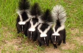 richmond and charlottesville virginia skunk removal
