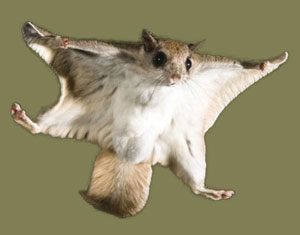 flying squirrel removal