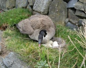 canada geese - Canada goose protecting her nest